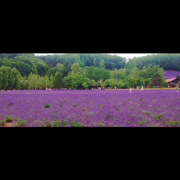 Lavender Farm at Furano
